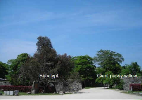 Hibaku Jumoku_Eucaplyptus and Giant Pussy Willow_Hiroshima Castle