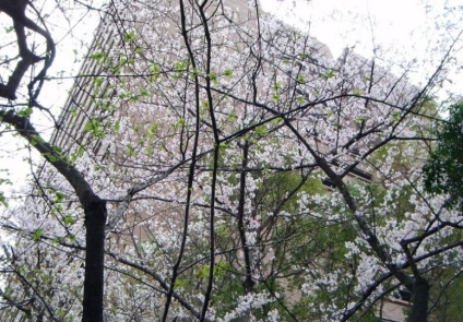 Hibaku Jumoku_Cherry Tree_Hiroshima City Hall_3